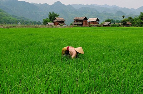 Woman in a rice field, Mai Chau, Hoa Binh province, Vietnam